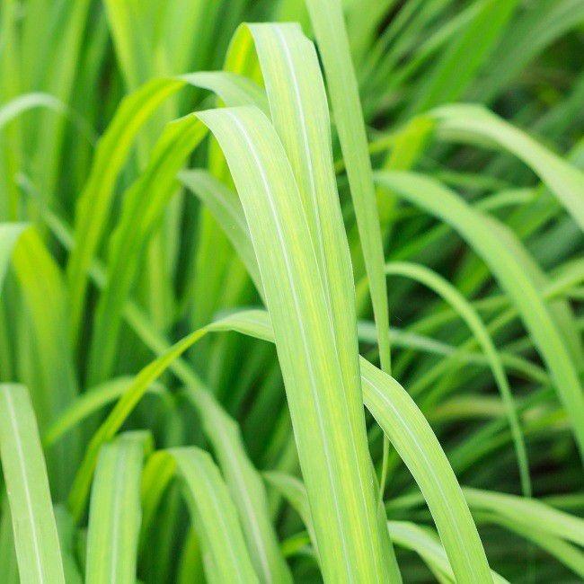 Trawa cytrynowa i jej właściwości zdrowotne!